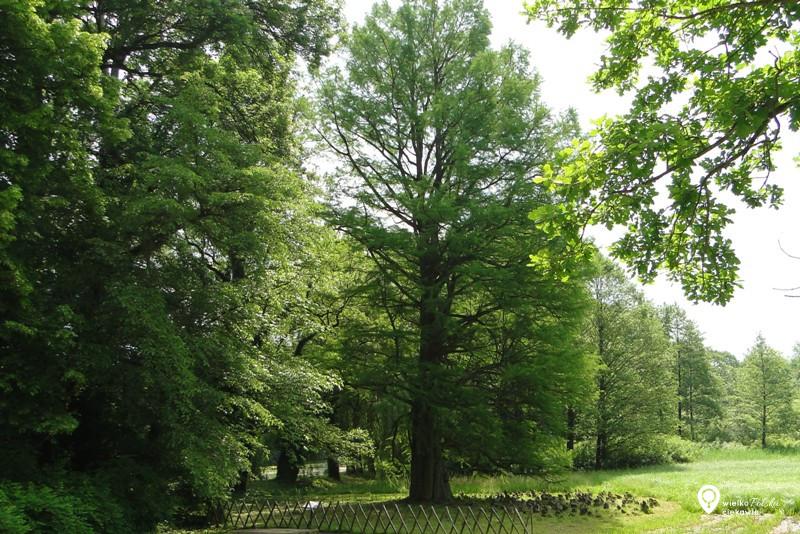 Kórnik, arboretum, cypryśnik błotny, pomnik przyrody, wielkopolska atrakcje, ciekawe miejsca w wielkopolsce, wycieczki po wielkopolsce